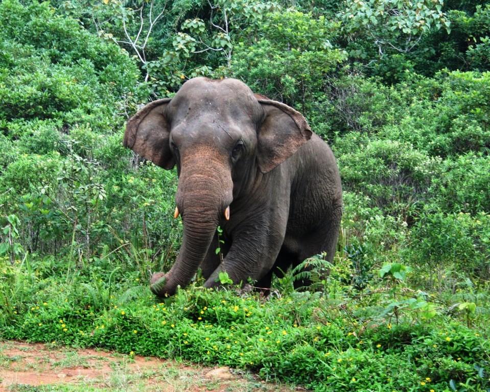 Elephants still lurking around in Sinharaja