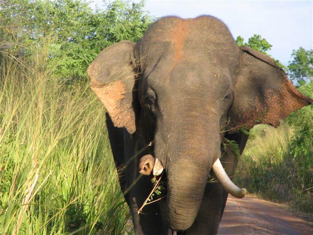 Tusks-Sri Lankan Nomenclature