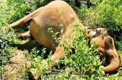 Pregnant Female Jumbo Felled By Shotgun