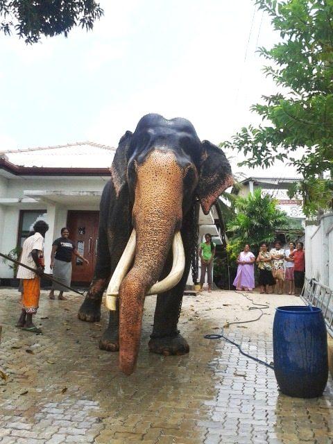 A unique, 'elephantine' experience in downtown Nugegoda, Sri Lanka