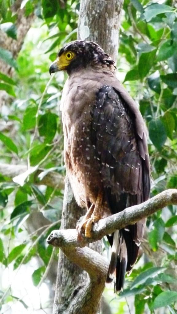 serpant eagle