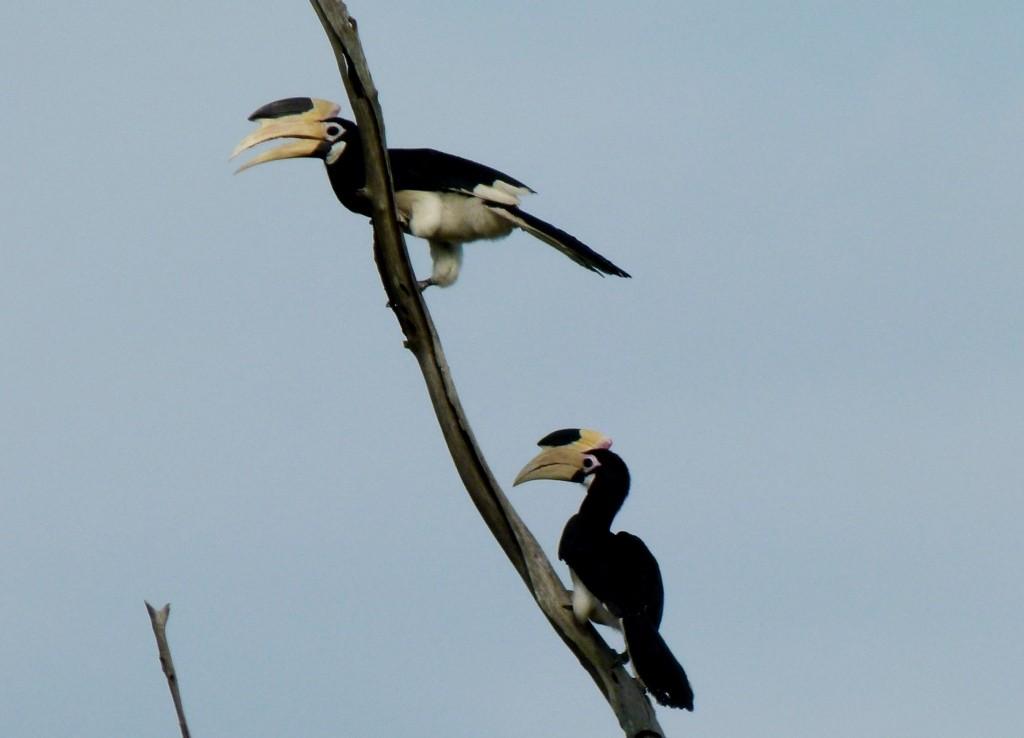 Malarbar Pied Hornbills